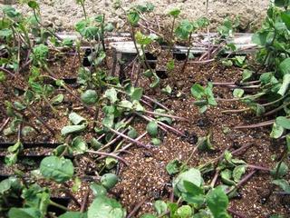 サル被害に遭った黒豆の苗